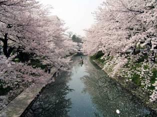 Matsukawa-no-sakura