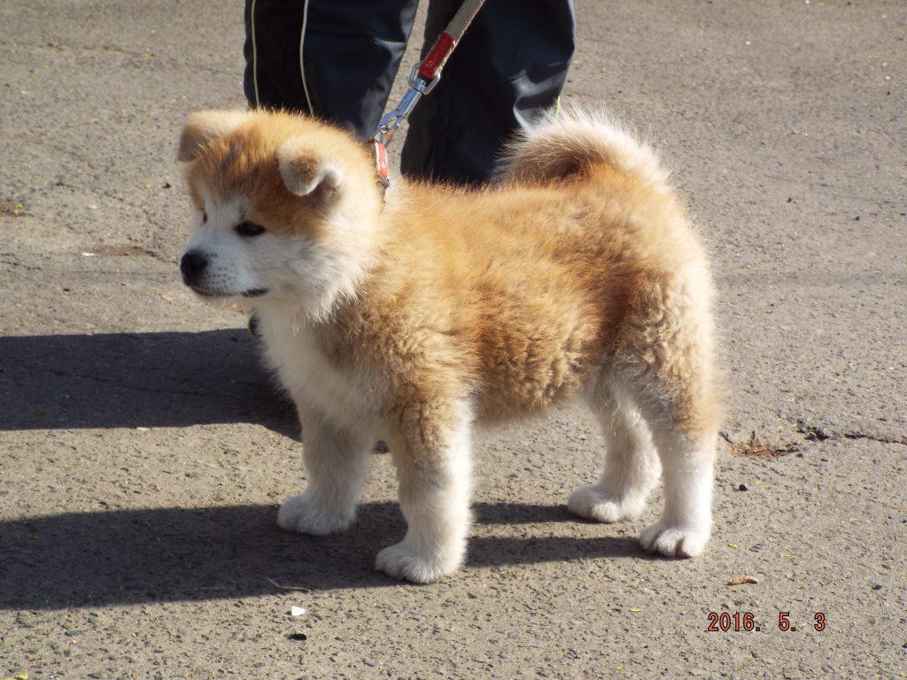 ザギトワ 秋田 犬